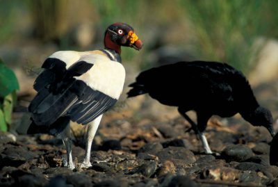King vulture, (Sarcoramphus papa), in Bolivia's Madidi National Park.