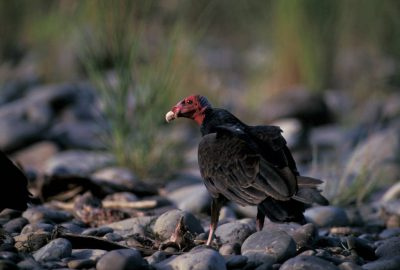 Photo: Turkey vulture (species ID available upon request) in Bolivia's Madidi National Park.
