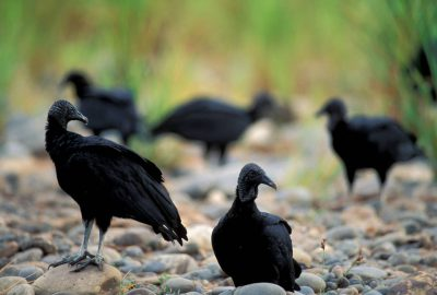 Photo: Black vultures in Bolivia's Madidi National Park.