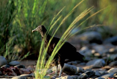 Photo: Black vulture in Bolivia's Madidi National Park.