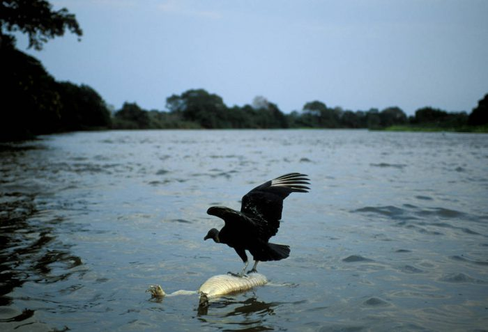 Photo: A black vulture on carrion in Brazil's Pantanal region.