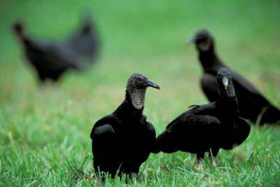 Photo: Black vultures in Brazil's Pantanal region.