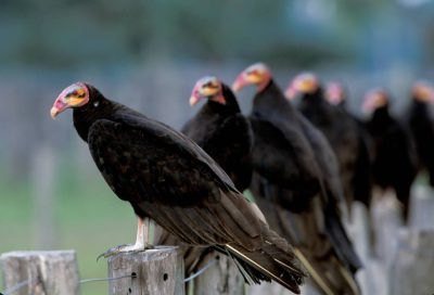 Lesser yellow-headed vultures line up on a fence in Brazil's Pantanal region.