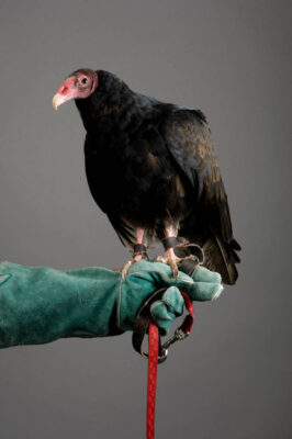 Photo: A portrait of a turkey vulture (Cathartes aura).