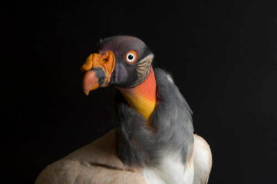 Photo: A king vulture (Sarcorhamphus papa) at the Great Plains Zoo.