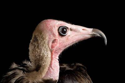 A hooded vulture (Necrosyrtes monachus) at the World Bird Sanctuary.