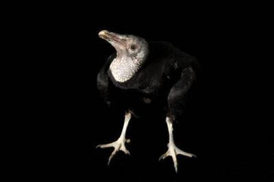 Picture of a black vulture (Coragyps atratus) at the Sutton Avian Research Center.