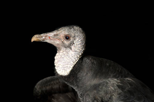 Picture of a black vulture (Coragyps atratus) at the Sutton Avian Research Center.