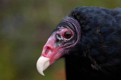 Photo: Turkey vulture at the New York State Zoo at Watertown, NY.