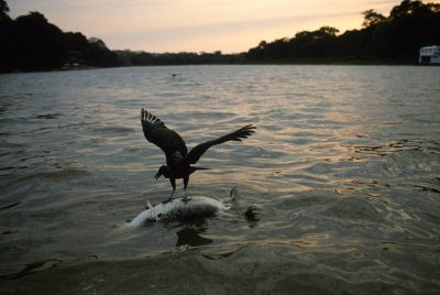 Photo: A black vulture picks at a caiman that was poached for its tail near Paso do Lontra in Brazil's Pantanal region.