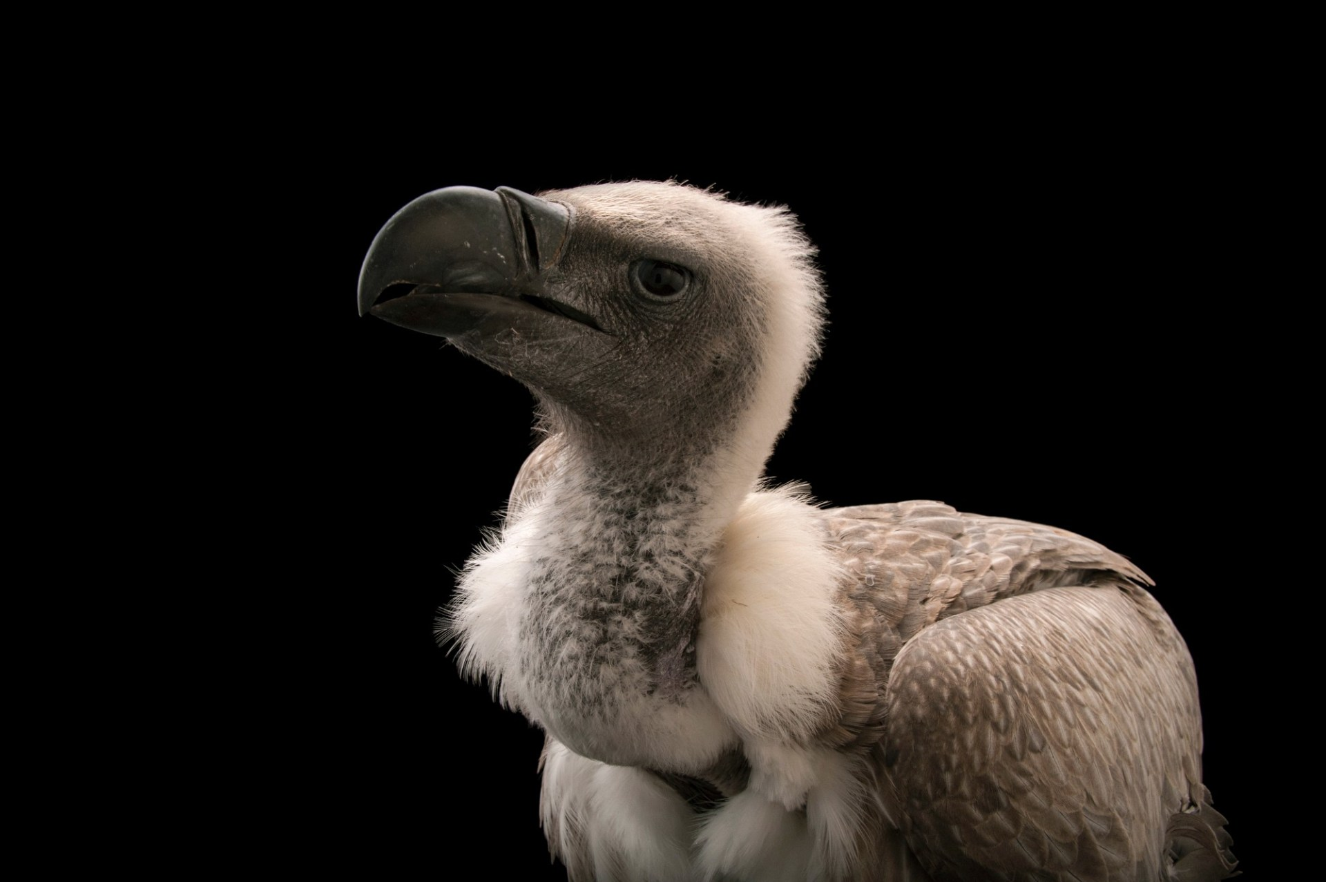 An endangered African white-backed vulture (Gyps africanus) at the Cleveland Metroparks Zoo.