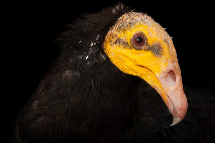 The greater yellow-headed vulture (Cathartes melambrotus) at the Sedgwick County Zoo in Wichita, Kansas.