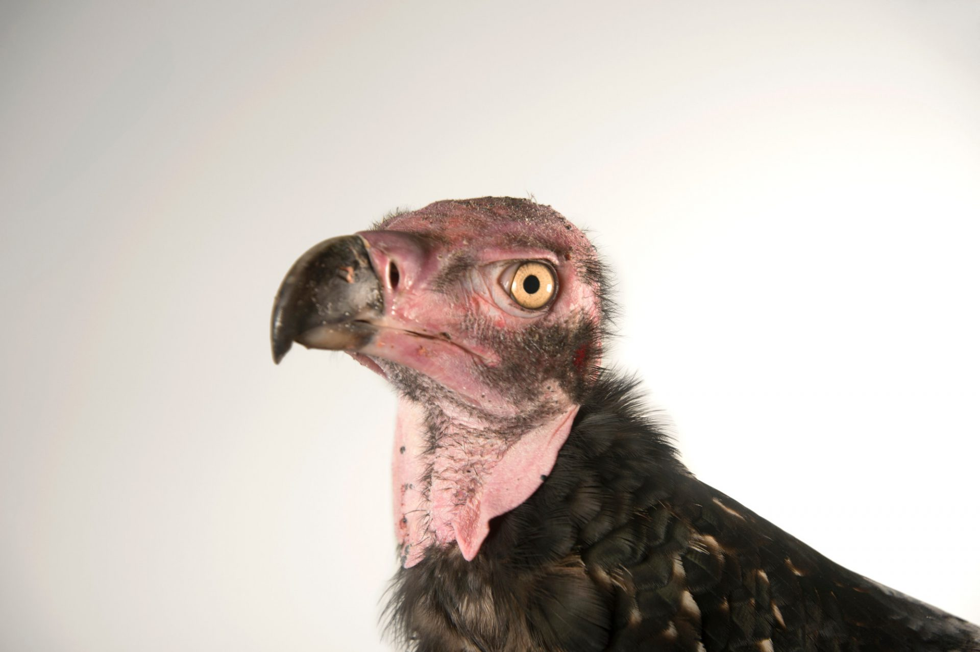 Picture of a critically endangered Pondicherry vulture (Sarcogyps calvus) named Brahma at the Palm Beach Zoo. He's the only one in North America.