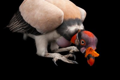 Picture of a king vulture (Sarcoramphus papa) from the Gladys Porter Zoo in Brownsville, Texas.