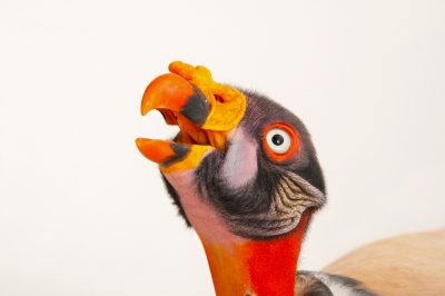 Picture of a king vulture (Sarcoramphus papa) from the Gladys Porter Zoo in Brownsville, Texas