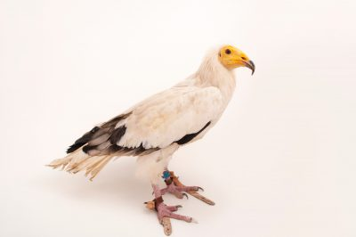 An endangered Egyptian vulture (Neophron percnopterus percnopterus) at the Cleveland Metroparks Zoo.