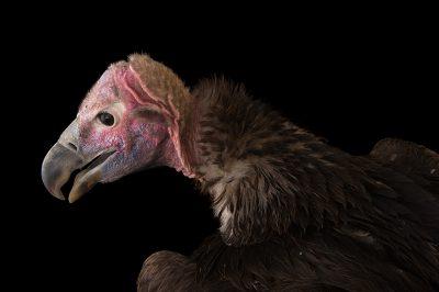 An endangered lappet-faced vulture (Torgos tracheliotos) at Zoo Atlanta.