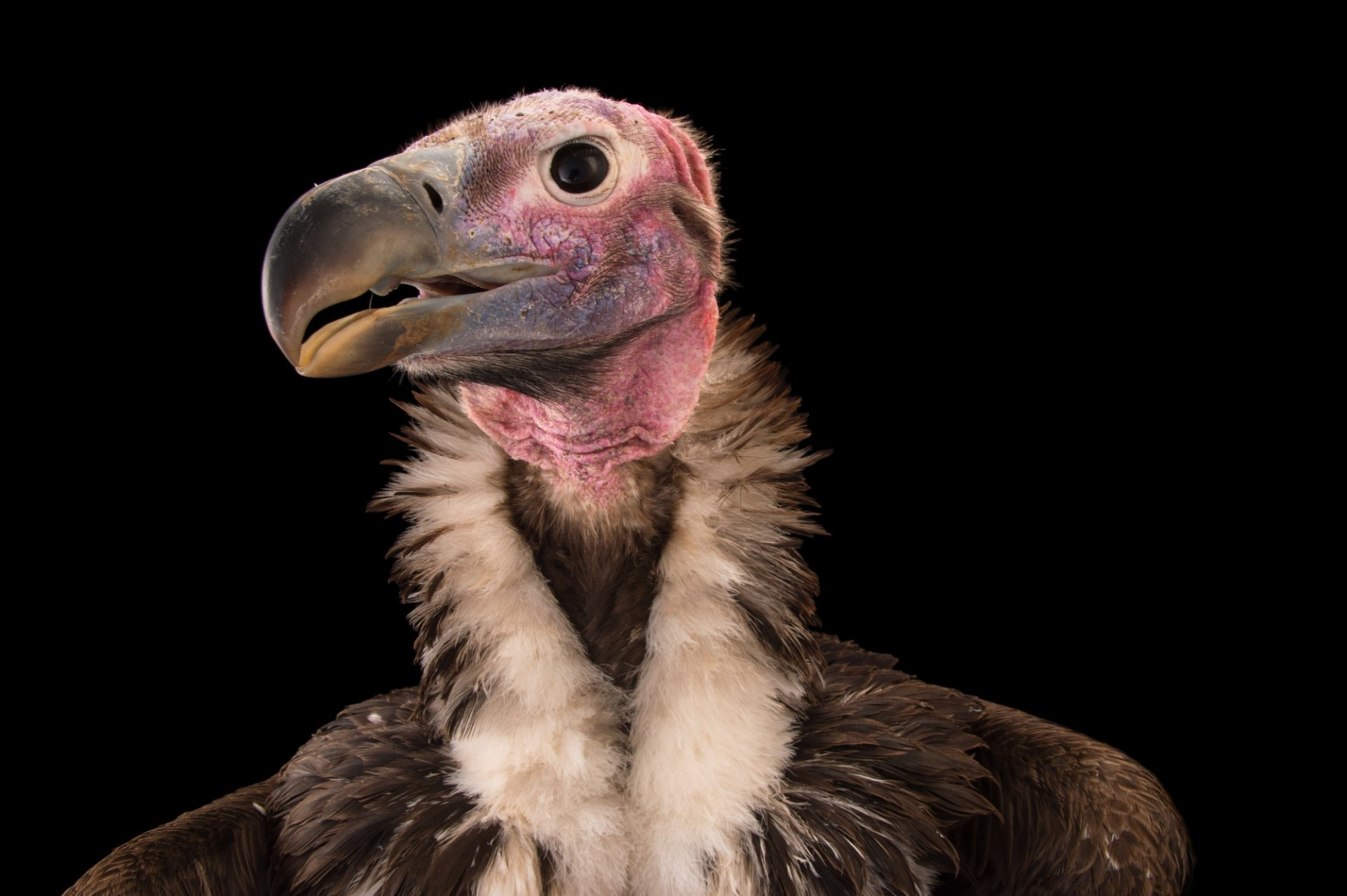 An endangered lappet-faced vulture (Torgos tracheliotos) at Zoo Atlanta.