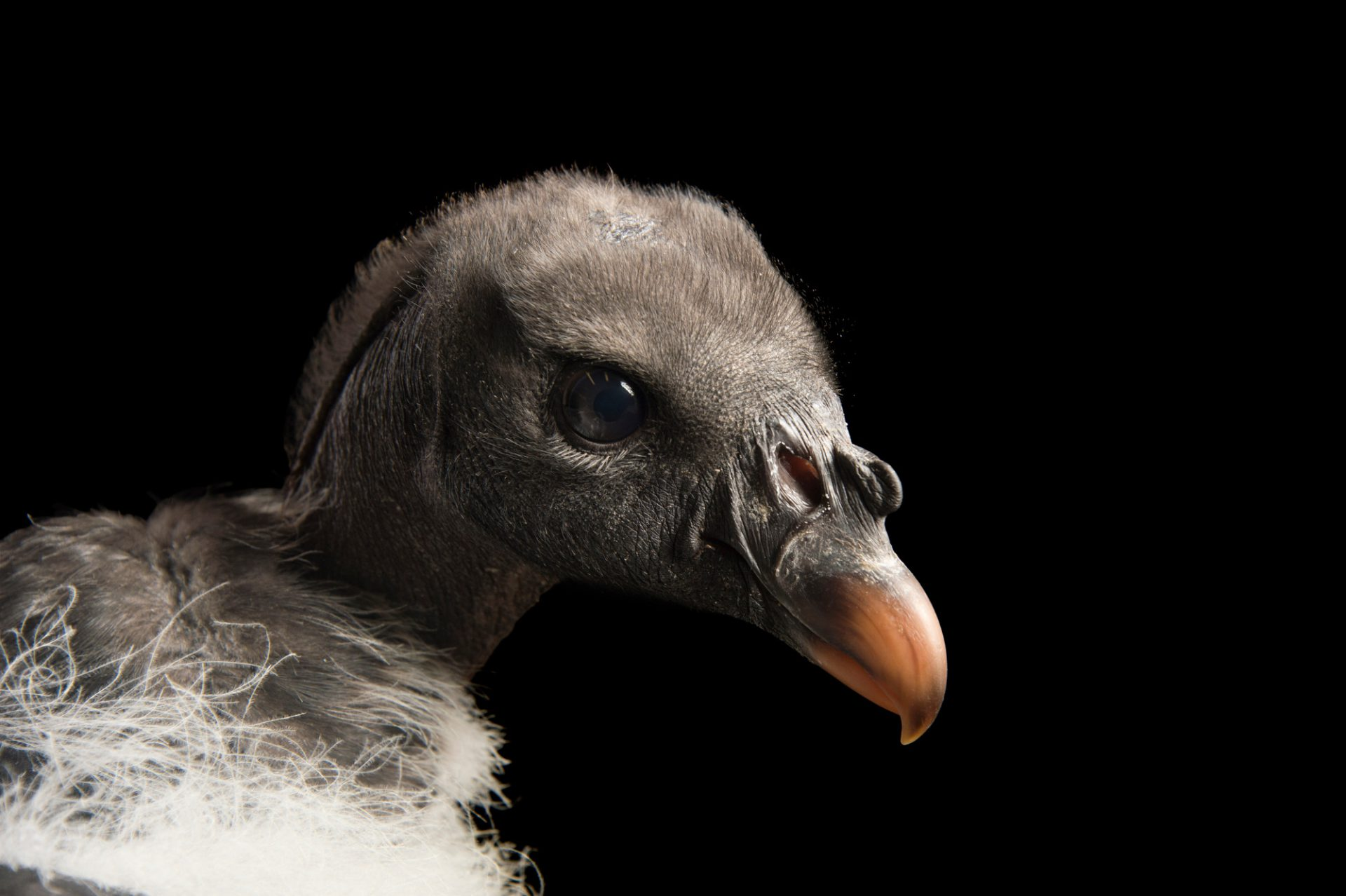 Picture of a three-month-old king vulture chick (Sarcoramphus papa) named 'T-Rex' at the Brevard Zoo.