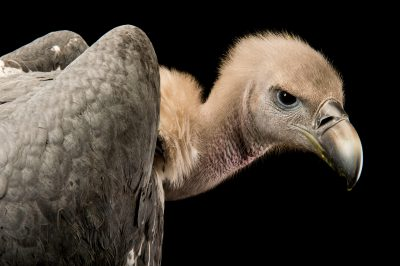 Photo: White-rumped vulture (Gyps bengalensis) at Kamla Nehru Zoological Garden, Ahmedabad, India.