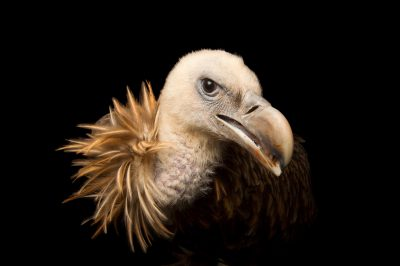 Picture of a Himalayan griffon vulture (Gyps himalayensis) at the Assam State Zoo cum Botanical Garden in Guwahati, Assam, India.