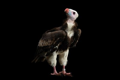 Picture of a critically-endangered white-headed vulture (Trigonoceps occipitalis) at the Toronto Zoo.
