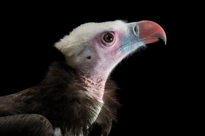 Picture of a critically endangered white-headed vulture (Trigonoceps occipitalis), at the Toronto Zoo.