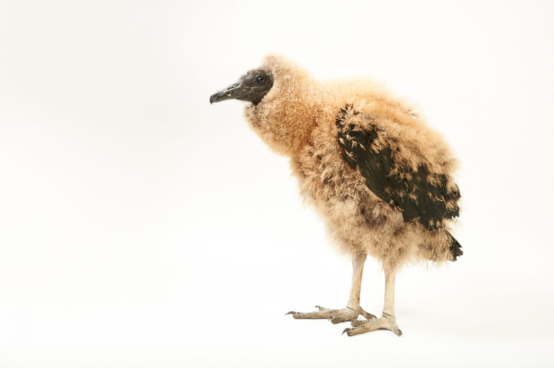 Picture of a baby black vulture (Coragyps atratus) at the WildCare Foundation.