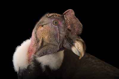 Photo: 'Andy N. Condor' the 55-year-old Andean condor at Tracy Aviary.