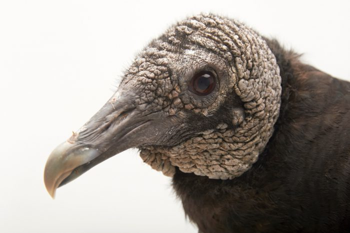 Picture of a black vulture (Coragyps atratus) at Sylvan Heights Waterfowl Park.