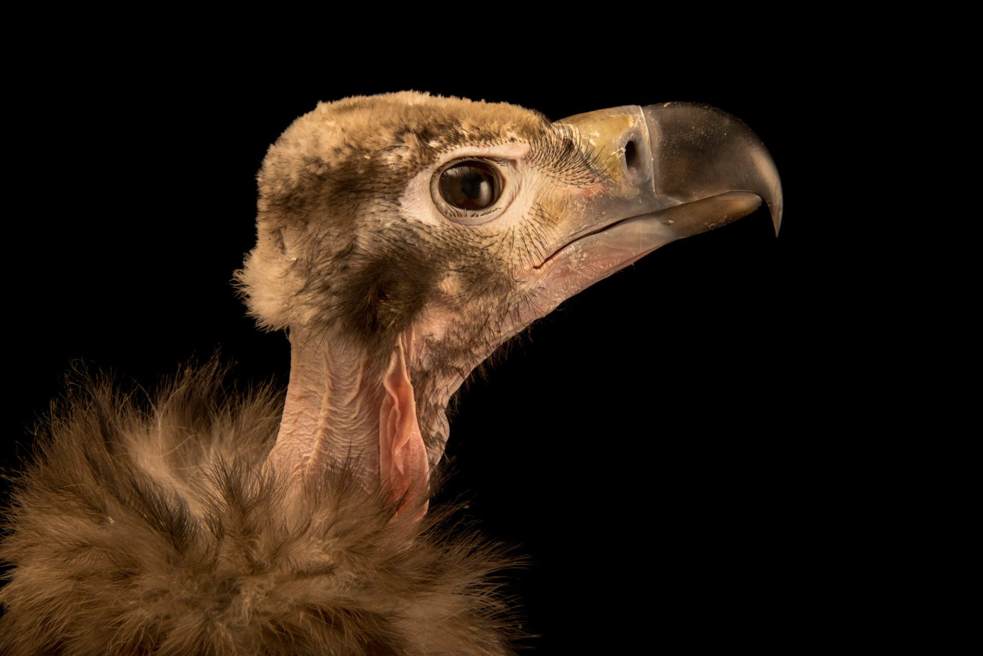 Picture of a critically endangered juvenile red headed vulture (Sarcogyps calvus) at Parco Natura Viva in Bussolengo, Italy.