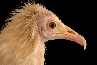 An endangered Egyptian vulture (Neophron percnopterus ginginianus) at Parco Natura Viva in Bussolengo, Italy.