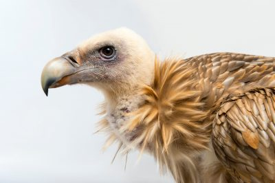 Photo: Himalayan griffon vulture (Gyps himalayensis) at the Assam State Zoo in Guwahati, Assam, India.