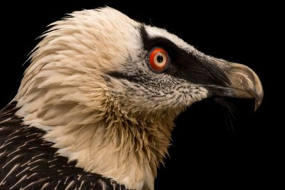 Photo: Bearded vulture (Gypaetus barbatus) at Parco Natura Viva.