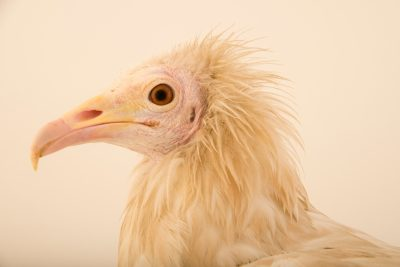 Photo: An endangered Egyptian vulture (Neophron percnopterus ginginianus) at Parco Natura Viva in Bussolengo, Italy.
