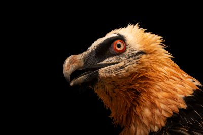 Photo: Bearded vulture (Gypaetus barbatus) at Monticello Center in Italy.