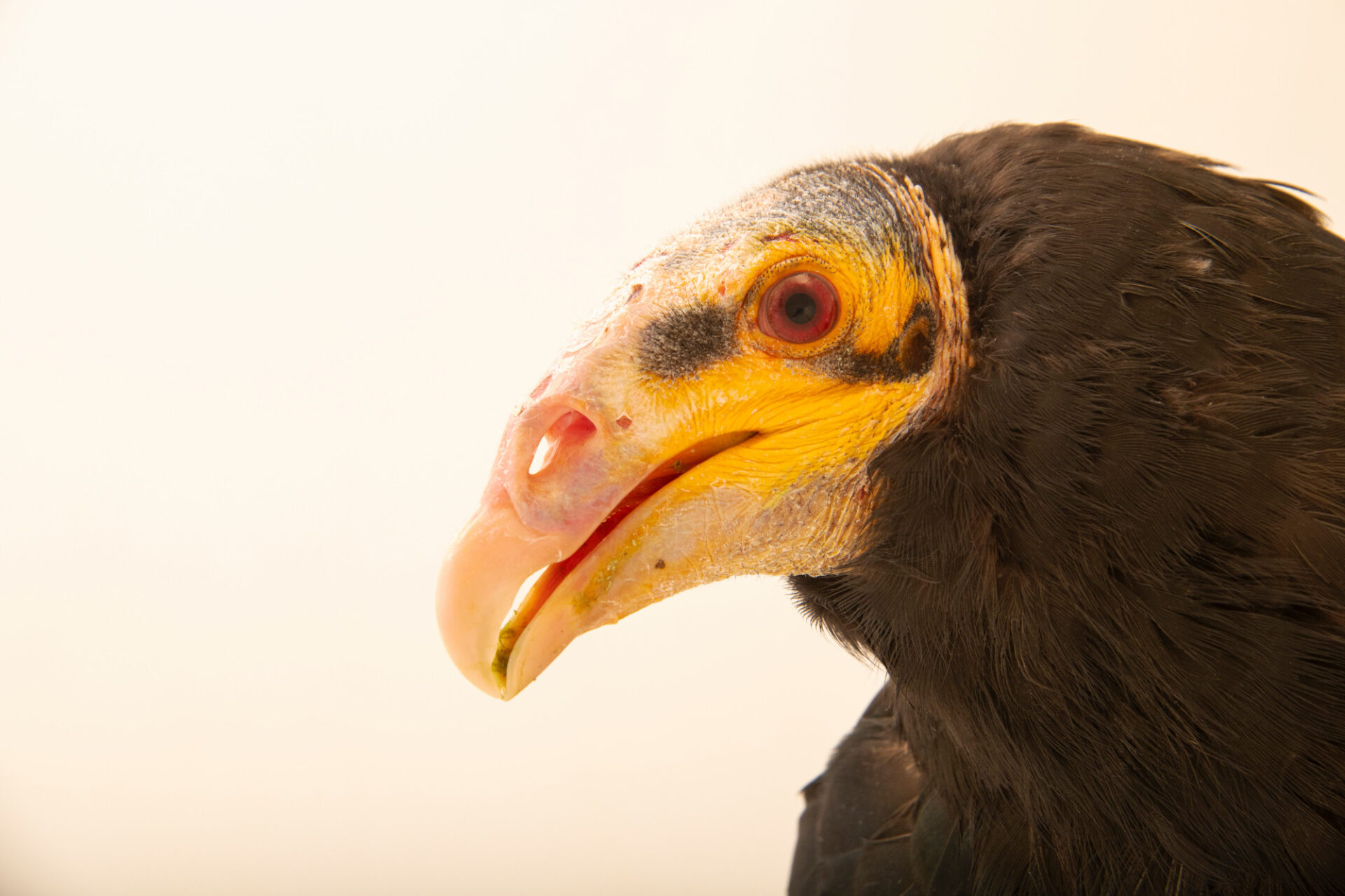 Photo: A lesser yellow-headed vulture (Cathartes burrovianus) at Tierpark Berlin.