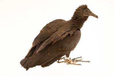 Photo: An American black vulture (Coragyps atratus foetens) at Zoologico de Quito.