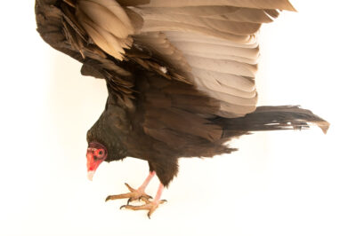 Photo: A turkey vulture (Cathartes aura meridionalis) at Wild at Heart, a raptor rehab center in Cave Creek, AZ.