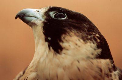 Photo: Peregrine falcon (endangered.)