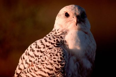 Photo: The gyrfalcon is one of the fastest animals on earth and a very effective predator.