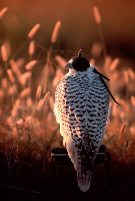 Photo: The gyrfalcon is one of the fastest animals on earth and popular with falconry enthusiasts.
