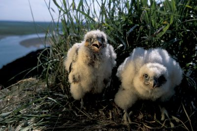 Photo: Two peregrine falcon chicks huddle in their cliff nest along the Colville River, the Slope's largest.