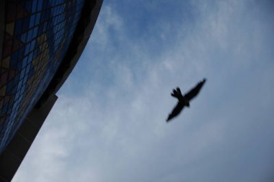 Photo: A peregrine falcon flies over the Nebraska State Capitol Building.