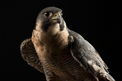 A portrait of a federally endangered peregrine falcon (Falco peregrinus).