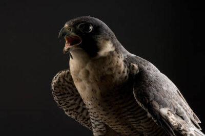 A portrait of a federally endangered peregrine falcon (Falco peregrinus).