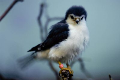 Photo: African pygmy falcon at the Denver zoo.