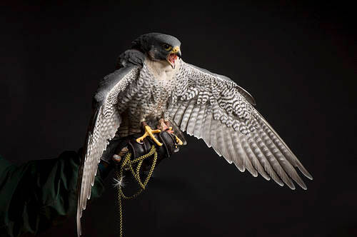 Photo: A Peale's peregrine falcon (Falco peregrinus pealei) at Reptile Gardens near Rapid City, South Dakota.