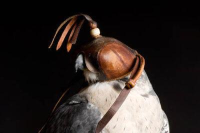 Photo: A Peale's peregrine falcon (Falco peregrinus pealei) at Reptile Gardens.