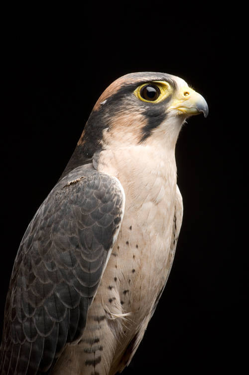 Picture of a lanner falcon (Falco biarmicus) at Reptile Gardens.